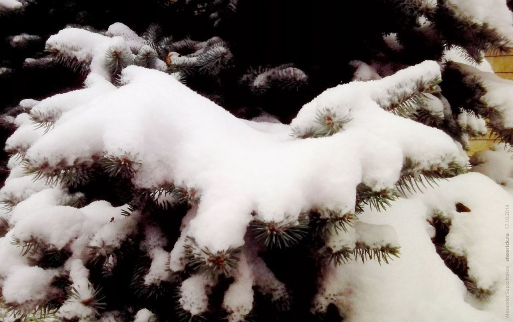 Ель и снег